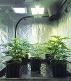 μαριχουάνα Στοκ φωτογραφία με δικαίωμα ελεύθερης χρήσης