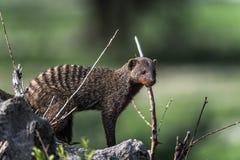 Μαρκαρισμένο Mongoose, Tarangire, Τανζανία Στοκ Εικόνες