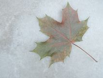 Μαρμάρινη σύσταση με το φύλλο σφενδάμου Στοκ Φωτογραφίες