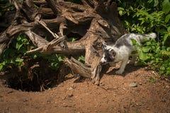 Μαρμάρινοι μίσχοι Vulpes αλεπούδων vulpes γύρω από τις ρίζες Στοκ εικόνες με δικαίωμα ελεύθερης χρήσης