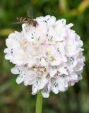 Μαρμελάδα Hoverfly στο λουλούδι Στοκ Εικόνες