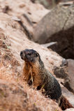 Μαρμότα (γιγαντιαίος σκίουρος βράχου) που αναρριχείται Στοκ φωτογραφία με δικαίωμα ελεύθερης χρήσης