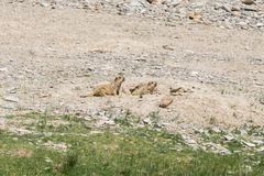 Μαρμότα γύρω από την περιοχή κοντά Tso Moriri στη λίμνη σε Ladakh, Ινδία Στοκ φωτογραφία με δικαίωμα ελεύθερης χρήσης