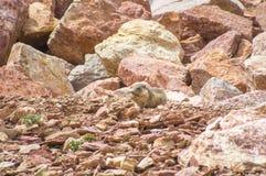 Μαρμότα που ζει στους βράχους Στοκ φωτογραφία με δικαίωμα ελεύθερης χρήσης