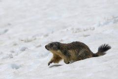 Μαρμότα τρέχοντας στο χιόνι Στοκ Εικόνες