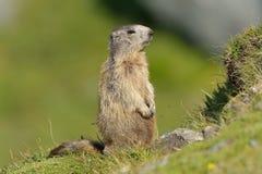 Μαρμότα (Marmota) Στοκ Εικόνες