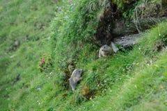 Μαρμότες σε Hohe Tauern Στοκ Φωτογραφία