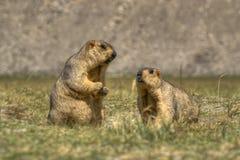 Μαρμότες Himalayan - himalayana Marmota, ζευγάρι, ladakh άγρια φύση, Τζαμού και Κασμίρ, Ινδία Στοκ Εικόνα