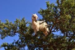 Μαροκινή αίγα argan στο δέντρο Στοκ Φωτογραφίες