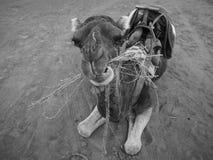 Μαροκινό μάσημα καμηλών, dromedarius Camelus, στη Σαχάρα Στοκ Φωτογραφίες