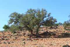 Μαροκινό Argan δέντρο Στοκ εικόνες με δικαίωμα ελεύθερης χρήσης