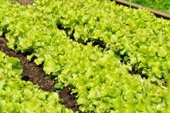 μαρούλι κήπων Στοκ εικόνες με δικαίωμα ελεύθερης χρήσης