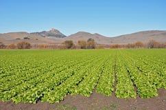 μαρούλι πεδίων Καλιφόρνιας Στοκ Φωτογραφία