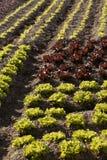 μαρούλι πεδίων μωρών λίγη κό&kap Στοκ Εικόνα
