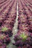 μαρούλι πεδίων Στοκ φωτογραφία με δικαίωμα ελεύθερης χρήσης