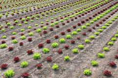 μαρούλι πεδίων Στοκ Εικόνα
