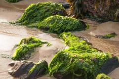 Μαρούλι θάλασσας Στοκ Φωτογραφία