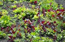 Μαρούλι και orache Στοκ Εικόνες