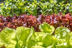Μαρούλι (Lactuca sativa) Στοκ Εικόνες