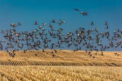 7 Μαρτίου 2017 - μεγάλο νησί, ΠΟΤΑΜΟΣ της Νεμπράσκας - PLATTE, ΗΝΩΜΕΝΟΙ μεταναστευτικοί Sandhill γερανοί πετώ πέρα από cornfield  Στοκ Εικόνες