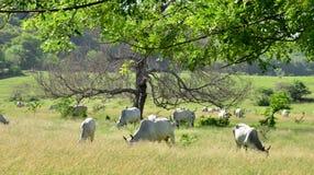 Μαρτινίκα, αγελάδες σε ένα λιβάδι Sainte Anne στις Δυτικές Ινδίες Στοκ Φωτογραφία
