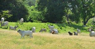 Μαρτινίκα, αγελάδες σε ένα λιβάδι Sainte Anne στις Δυτικές Ινδίες Στοκ φωτογραφία με δικαίωμα ελεύθερης χρήσης