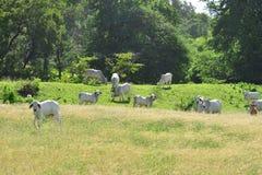 Μαρτινίκα, αγελάδες σε ένα λιβάδι Sainte Anne στις Δυτικές Ινδίες Στοκ φωτογραφίες με δικαίωμα ελεύθερης χρήσης