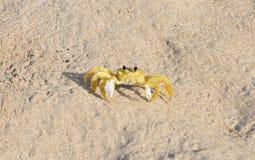 Μαρτινίκα, καβούρι στην παραλία Sainte Anne στις Δυτικές Ινδίες Στοκ Φωτογραφίες