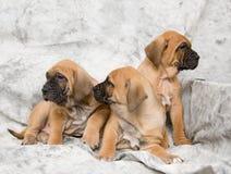 μαστήφ σκυλιών μωρών Στοκ φωτογραφίες με δικαίωμα ελεύθερης χρήσης