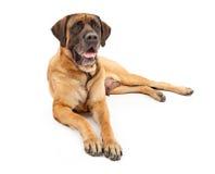 μαστήφ σκυλιών engish Στοκ Εικόνες