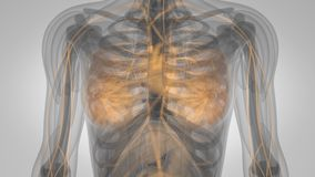 Μαστική ανίχνευση αύξησης αδένων ανθρώπινου σώματος απόθεμα βίντεο