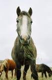 μασώντας άλογο χλόης Στοκ Φωτογραφίες