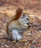 Μασώντας σκίουρος Στοκ Εικόνες