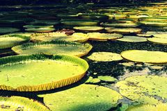Μαυρίκιος Οι γίγαντες ποτίζουν τον κρίνο - amazonica Βικτώριας στοκ εικόνες με δικαίωμα ελεύθερης χρήσης