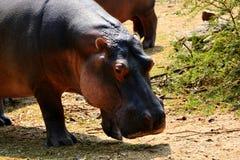 Μαυρίσματα Hippo Στοκ εικόνα με δικαίωμα ελεύθερης χρήσης