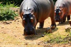 Μαυρίσματα Hippo Στοκ Φωτογραφία