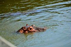 Μαυρίσματα Hippo Στοκ φωτογραφία με δικαίωμα ελεύθερης χρήσης