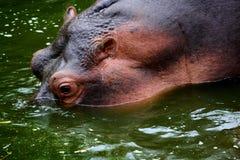 Μαυρίσματα Hippo Στοκ Εικόνες