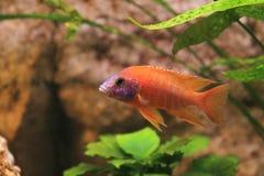 Μαυρισμένο μάτι Peacock Firefish Στοκ Εικόνα