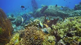 Μαυριτανικά ψάρια ειδώλων στην κοραλλιογενή ύφαλο στο PNG απόθεμα βίντεο