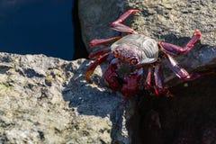 Μαυριτανικό ερυθρόποδο καβούρι (adscensionis Grapsus), κοινός ένας καρκινοειδής θλγραν θλθαναρηα, Κανάρια νησιά, Ισπανία στοκ εικόνα με δικαίωμα ελεύθερης χρήσης