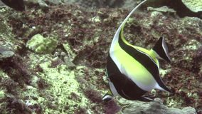 Μαυριτανικό cornutus Zanclus ειδώλων στα κοράλλια στο ζουλού νησί Apo θάλασσας απόθεμα βίντεο