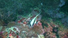 Μαυριτανικό cornutus Zanclus ειδώλων στα κοράλλια στο ζουλού νησί Apo θάλασσας φιλμ μικρού μήκους