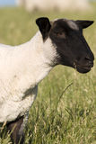 μαυροκέφαλα πρόβατα Στοκ φωτογραφίες με δικαίωμα ελεύθερης χρήσης