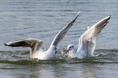 Μαυροκέφαλα seagulls που βουτούν στο νερό λιμνών για το ψωμί στοκ φωτογραφία με δικαίωμα ελεύθερης χρήσης