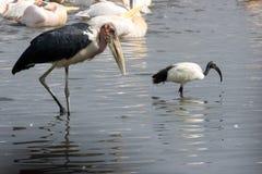 μαυροκέφαλο marabou λιμνών θρε& Στοκ εικόνες με δικαίωμα ελεύθερης χρήσης