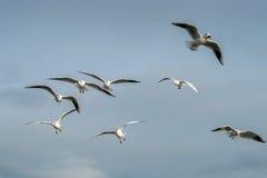 Μαυροκέφαλοι γλάροι Seahouses Στοκ Φωτογραφίες