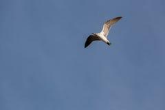 Μαυροκέφαλος γλάρος που πετά στον ουρανό στοκ εικόνες με δικαίωμα ελεύθερης χρήσης