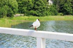 Μαυροκέφαλος γλάρος σε ένα πάρκο Στοκ Φωτογραφίες