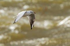 Μαυροκέφαλος γλάρος στη θυελλώδη λιμνοθάλασσα Στοκ Φωτογραφίες